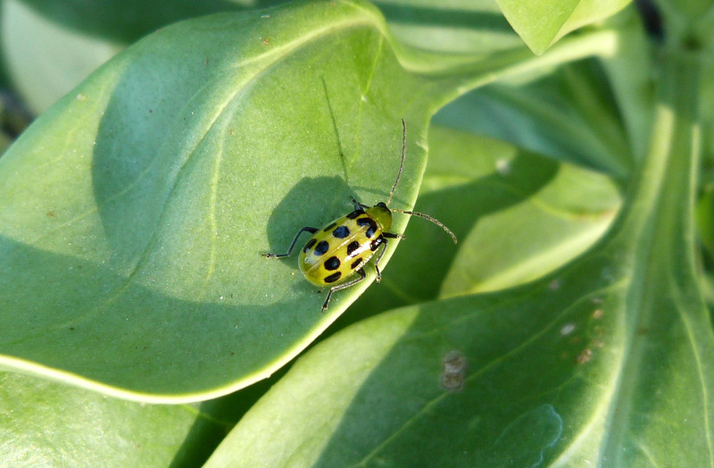 P105SpottedCucumberBeetle606 Sept. 8, 2011  9:12 a.m.  P1050606 Spotted Cucumber Beetle, Diabrotica undecimpunctata, at LBJ WC.  Chrysomelid.