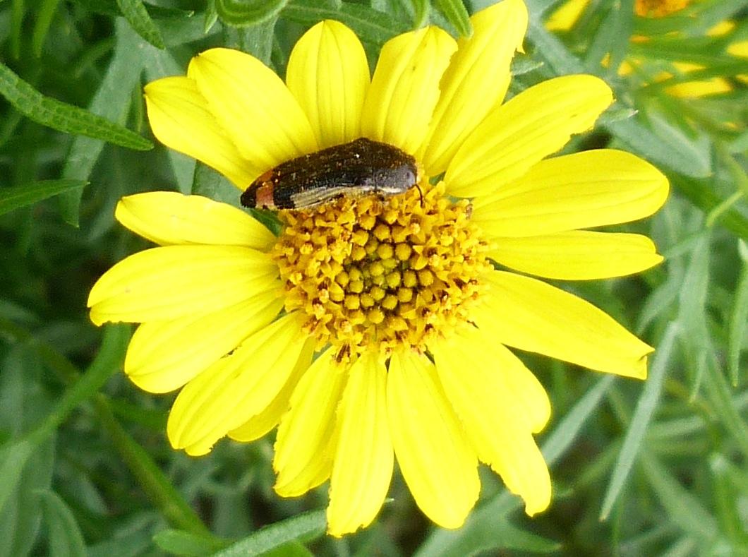 P141AcmaeoderaFlavomarginataMetallicWdborer146 Nov. 13, 2014  9:54 a.m.  P1410146 This pollen-dusted beetle is the Metallic Woodborer, Acmaeodera flavomarginata, at Lady Bird Johnson Wildflower Center.