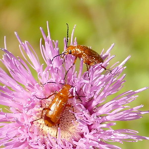 P166NemognathaSpBlisterBeetle776 Apr. 27, 2017  10:30 a.m.  P1660776 Here are a couple of Nemognatha species blister beetles on a thistle bloom at LBJ WC.    Meloid.
