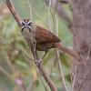 Rusty Sparrow, Hidden Valley Falls