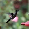 ? Hummingbird