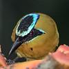 Blue-crowned Mot Mot, Crystal Paradise Lodge feeders