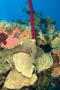 DSCF5266 red tube sponge and coral