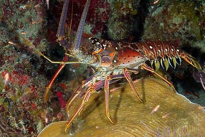 DSCF0803 lobster