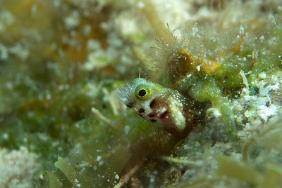 DSCF5365 green eye blenny side