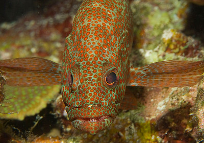 DSCF0598 grouper face on