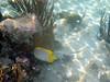 Spotfin butterflyfishes are plentiful.