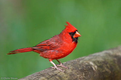 Northern Cardinal male at Radnor Lake, Nashville, TN (04-24-2010)-015-Edit
