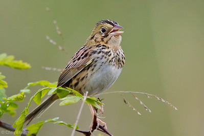 Henslow's Sparrow at Bell's Bend Park, Nashville, TN (04-17-2010)-013-2-Edit