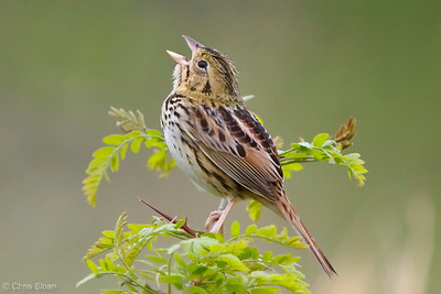 Henslow's Sparrow at Bell's Bend Park, Nashville, TN (04-17-2010)-014-Edit