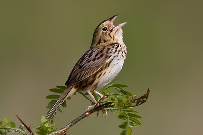 Henslow's Sparrow at Bell's Bend Park, Nashville, TN (04-17-2010)-031-Edit