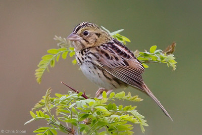 Henslow's Sparrow at Bell's Bend Park, Nashville, TN (04-17-2010)-008-Edit