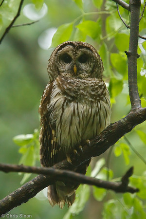 Barred Owl at Radnor Lake, Nashville, TN (05-15-2010) - 848-Edit