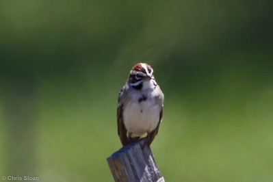 Lark Sparrow at Rutherford County, TN (05-08-2010)-7-Edit