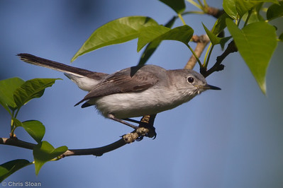 Blue-gray Gnatcatcher female at Bell's Bend Park, Nashville, TN (05-07-2010)-3-Edit