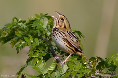 Henslow's Sparrow at Bell's Bend Park, Nashville, TN (04-17-2010)-034-Edit