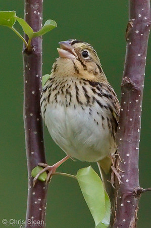 Henslow's Sparrow at Bell's Bend Park, Nashville, TN (04-17-2010)-003-2-Edit