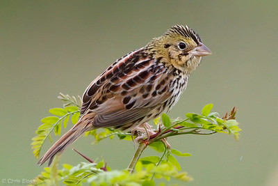 Henslow's Sparrow at Bell's Bend Park, Nashville, TN (04-17-2010)-021-Edit