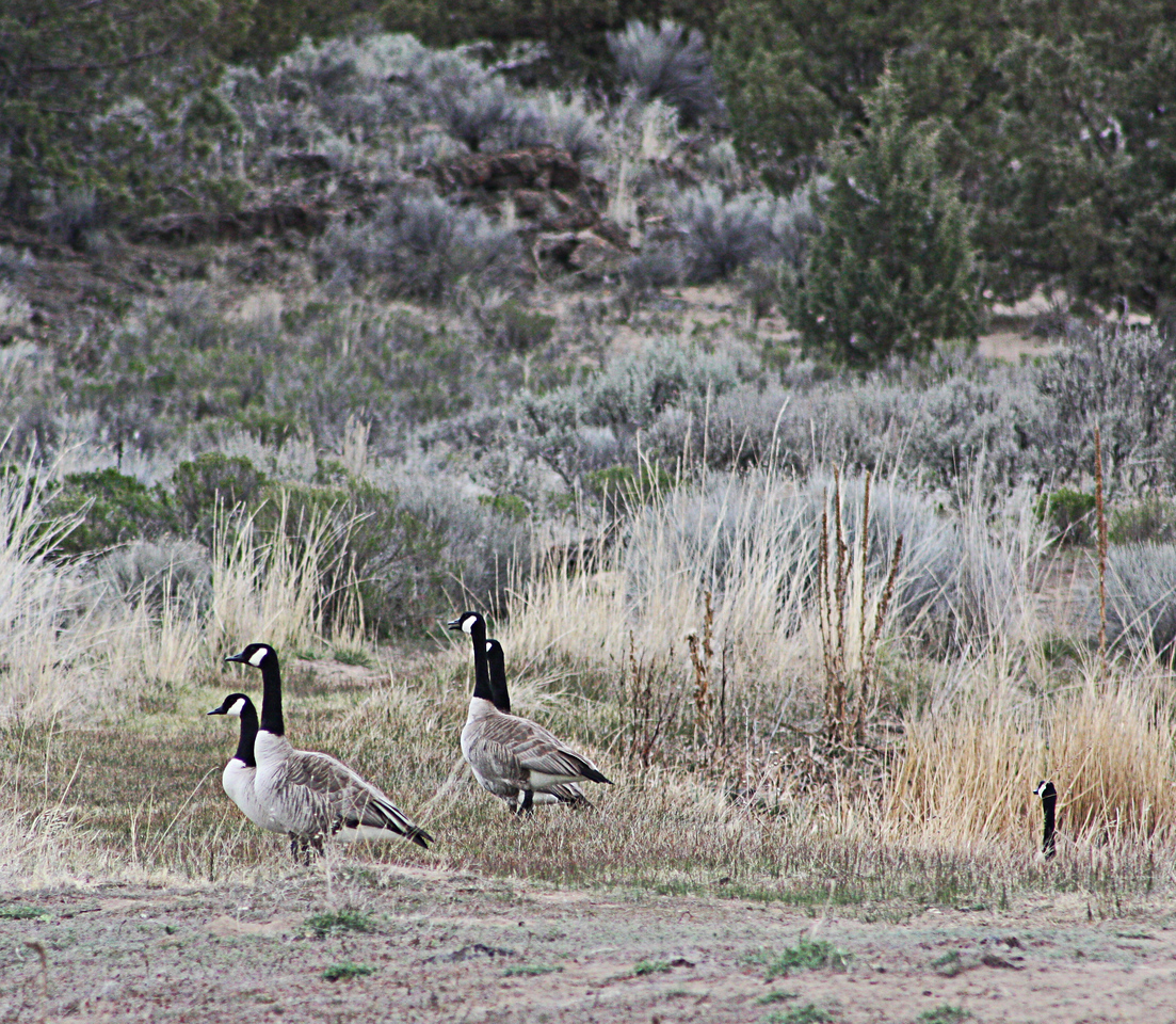 The stalker goose.... in the Badlands Wilderness Nature Study Area, Bend, Oregon