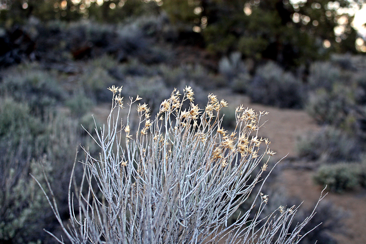 Wildflowers catching twilight in the Badlands Wilderness Nature Study Area, Bend, Oregon
