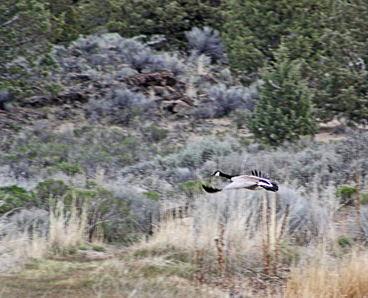Canadian goose in flight in the Badlands Wilderness Nature Study Area, Bend, Oregon