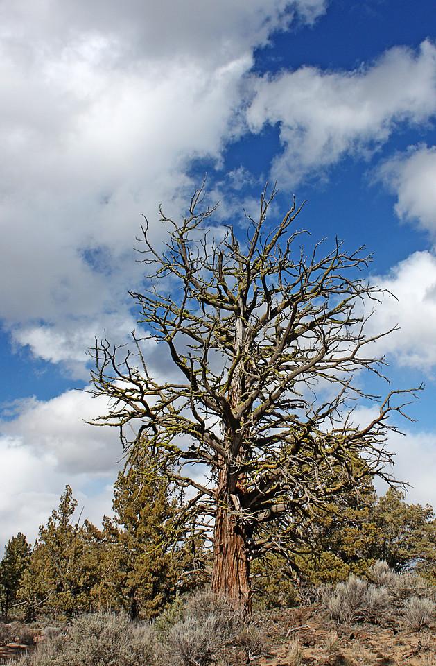 Ancient Juniper in the Badlands Wilderness Nature Study Area, Bend, Oregon