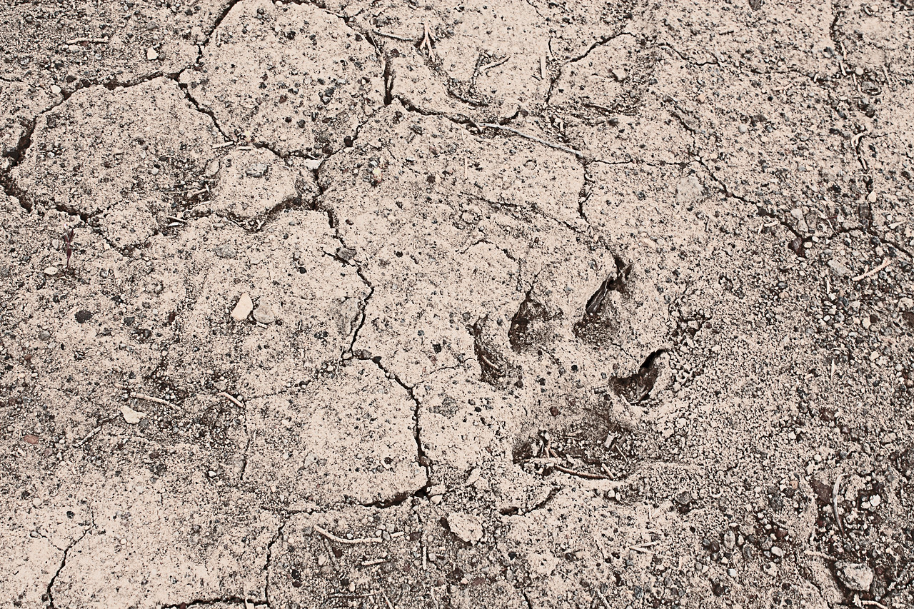 Creature prints in the Badlands Wilderness Nature Study Area, Bend, Oregon
