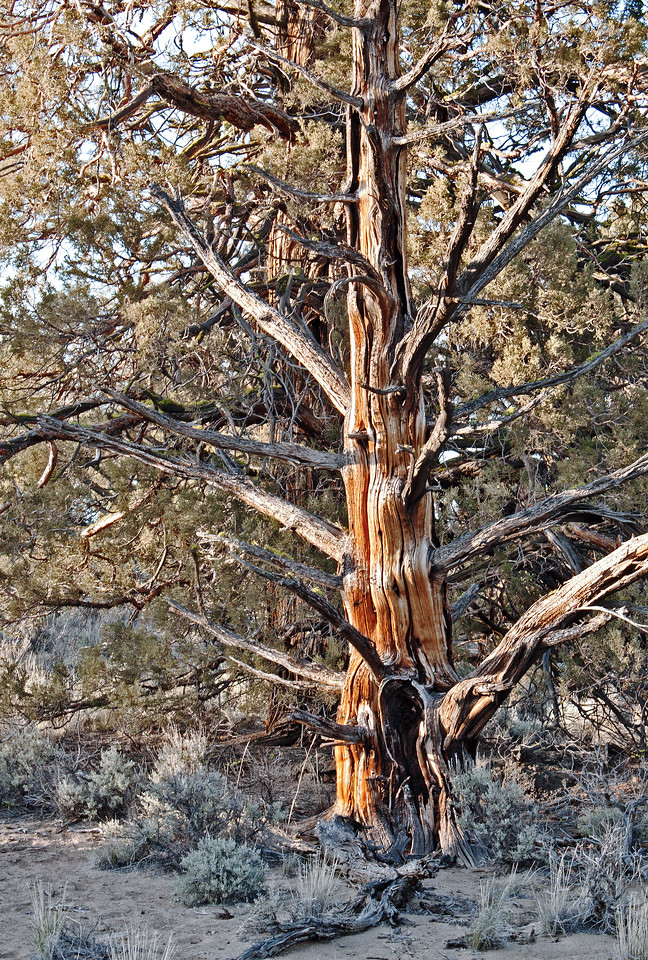 Ancient juniper in the Badlands Wilderness Nature Study Area, Bend, Oregon