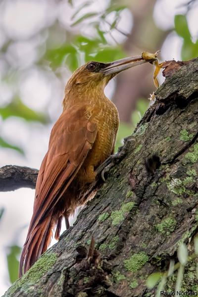Xiphocolaptes major<br /> Arapaçu-do-campo<br /> Great Rufous Woodcreeper<br /> Trepador gigante - Arapasu ñu