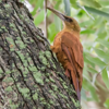 Xiphocolaptes major<br /> Arapaçu-do-campo<br /> Great Rufous Woodcreeper<br /> Trepador gigante - Arapasu ñu