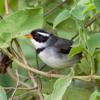 Arremon flavirostris<br /> Tito-tico-de-bico-amarelo<br /> Saffron-billed Sparrow<br /> Afrechero de collar - Sasaki