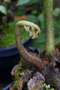 The fiddlehead becomes the sinister claw