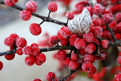 Frosted Possumhaw