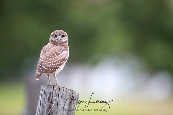 Florida Burrowing Owlet watching the photographer.