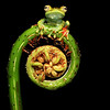 The Frog & Fiddlehead