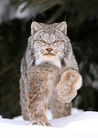 Wild Canada Lynx running in Ontario, Canada.