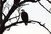 IMG_4532Young Eagle