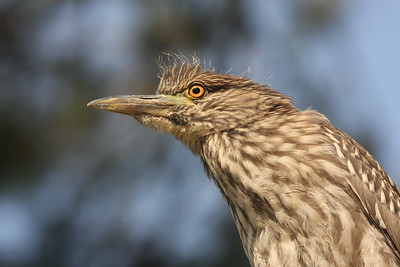 Immature Black-crowned Night Heron (Ninth Street Rookery, Santa Rosa