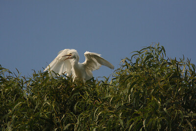 Immature Cattle Egret, Ninth Street Rookery, Santa Rosa