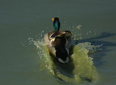 Mallard Drake Splashdown!
