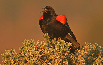 Red-winged Blackbird (Las Gallinas)