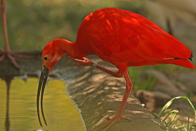Scarlet Ibis, Safari West