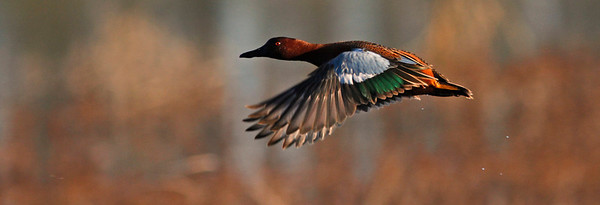Cinnamon Teal , Ellis Creek