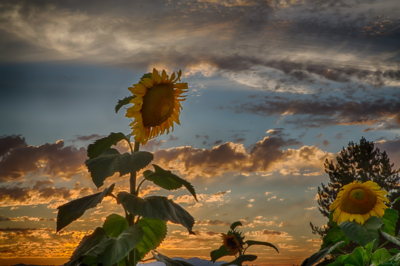 Laurelwood Sunflowers