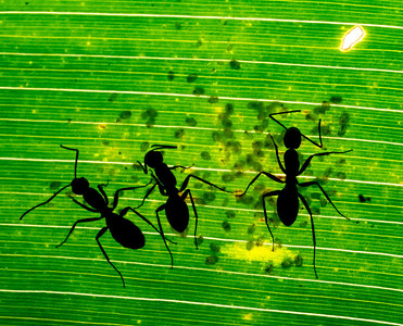 Ants farming scale insects