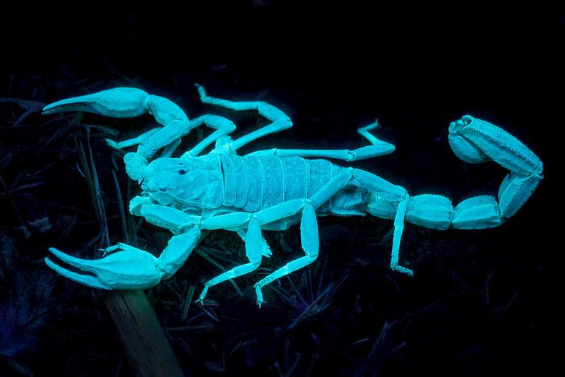 Fluorescent scorpion