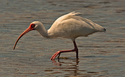 White Ibis, Ding Darling Refuge, Sanibel Florida