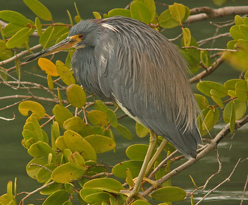Tri-Colored Heron in Sea Grapes, Quickpoint Nature Preserve, Longboat Key Florida