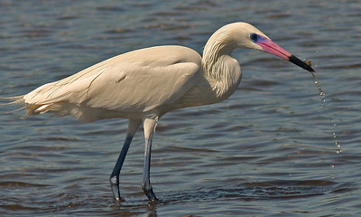 Reddish Egret White Morph in breeding plumage with crab catch- Ding Darling Refuge, Sanibel Florida