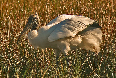 Wood Stork, Sarasota Florida